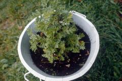 Topf mit einer Thujonpflanze in der Nähe von Boveresse fuer die Herstellung von Absinth.