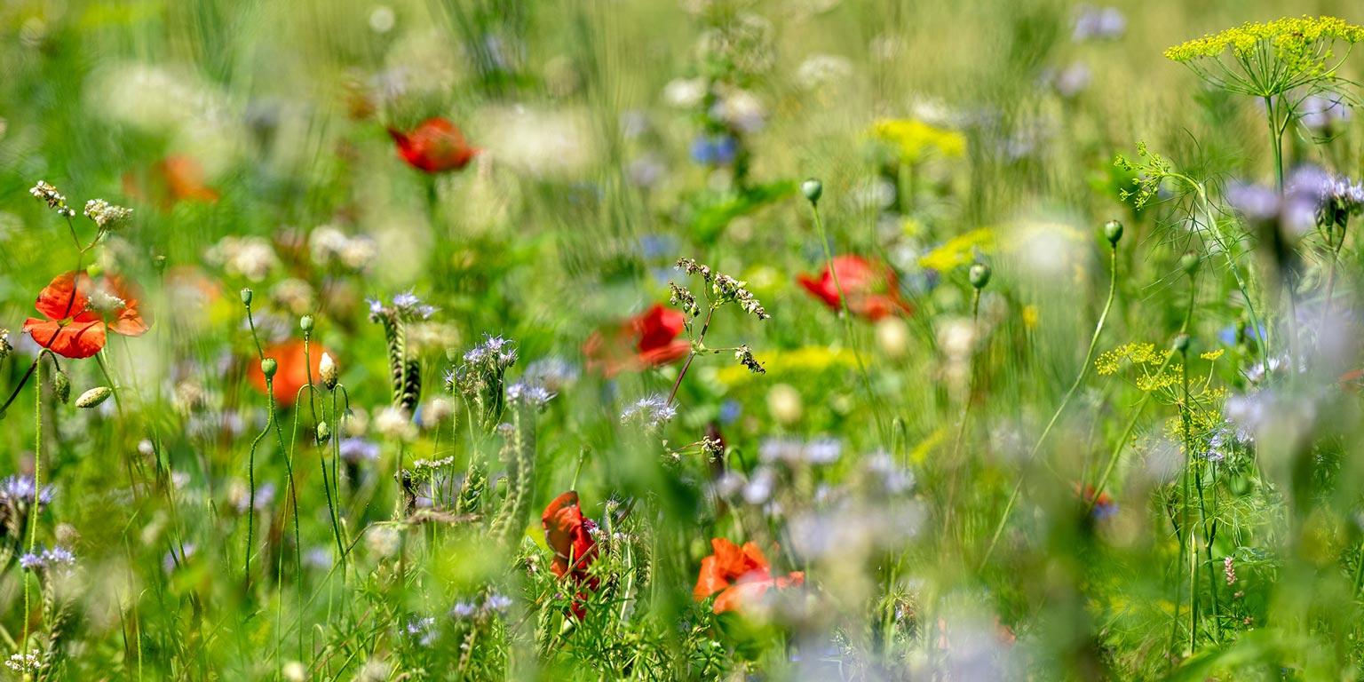 Blumenwiese bei Wynigen